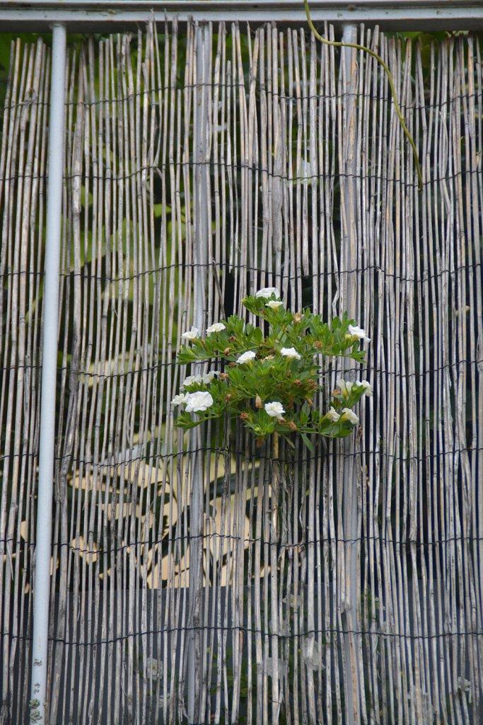 Veronique-geranium-blanc.JPG