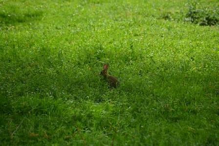 Veronique-lapin-dans-le-pre.JPG